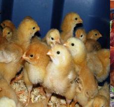Kenbro chicks