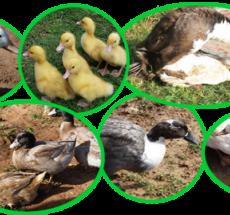 Duck Breeds in Kenya