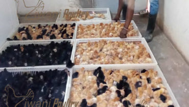 Hubbard Day old chicks